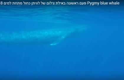 צלילה חופשית עם לוויתן כחול באילת